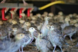 What can I do with my excess poults this year?