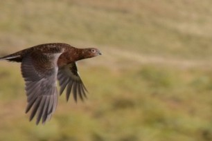 Grouse on the Moors - A veterinary update on the season so far.