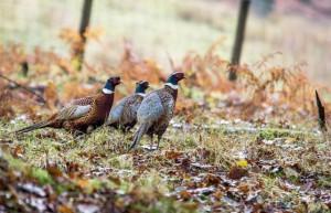 Kansas and Michigan Blueback pheasants AM PIC